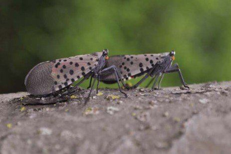 Lanternflies Photo by E.Smyers